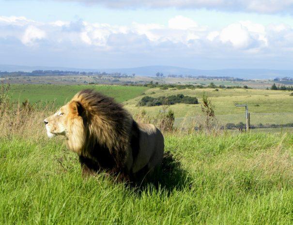 Jabu, our male lion